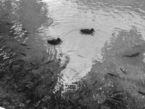 kaczki-plitwice
