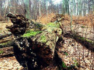 zwalone drzewo racławka